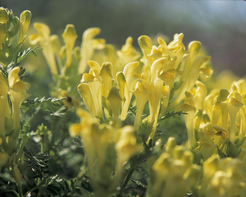 Scutellaria orientalis yellow flowered skullcaprhs gardening yellow flowered skullcap mightylinksfo