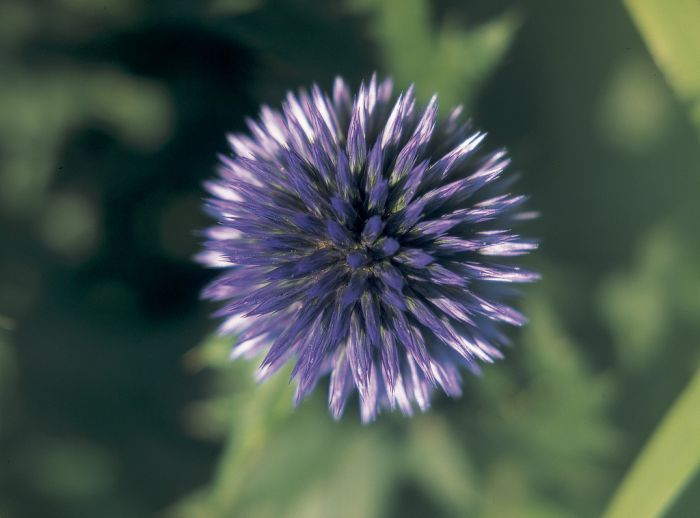 globe thistle 'Veitch's Blue'