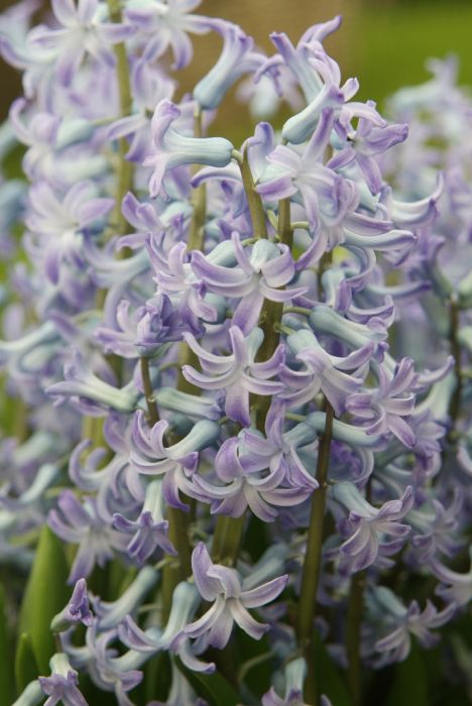 hyacinth 'Blue Festival'