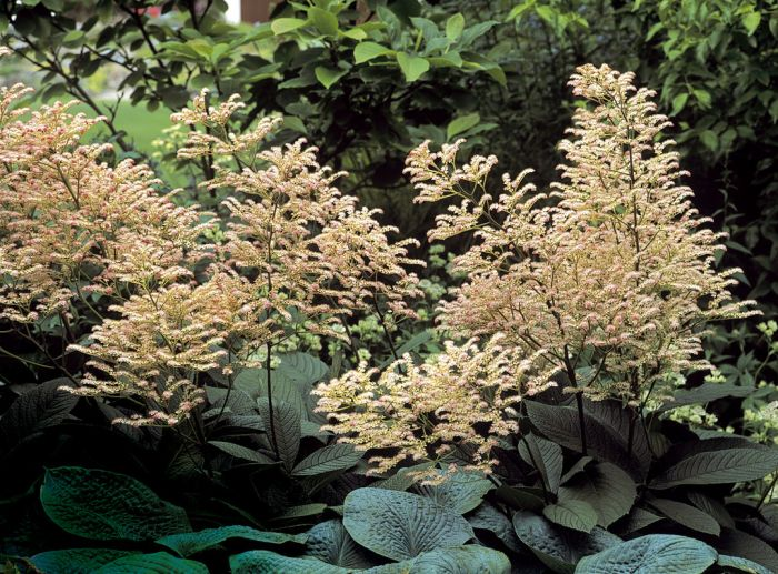 rodgersia 'Superba'