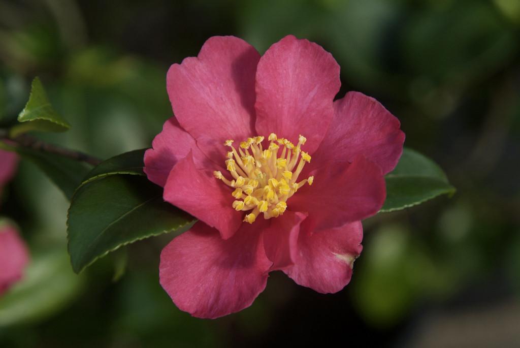 camellia 'Crimson King'