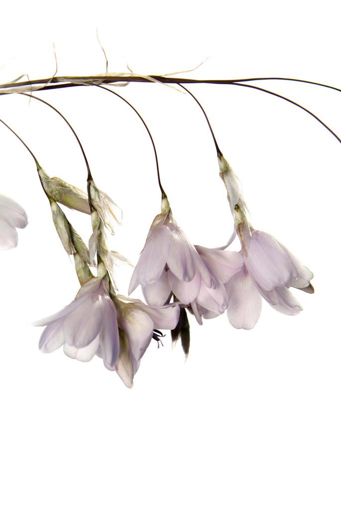 wandflower 'Guinevere'