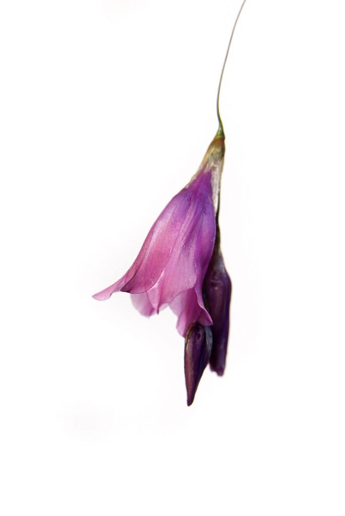 Moss's wandflower