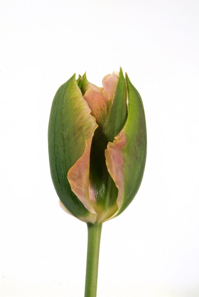 tulip 'Artist'