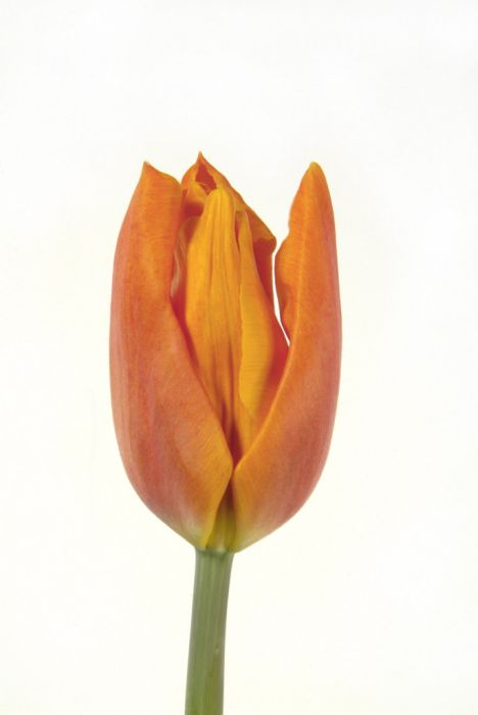 tulip 'Fidelio'