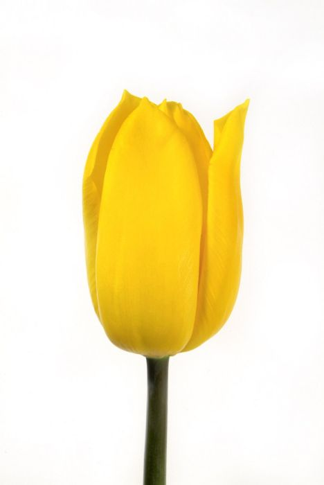 tulip 'Strong Gold'