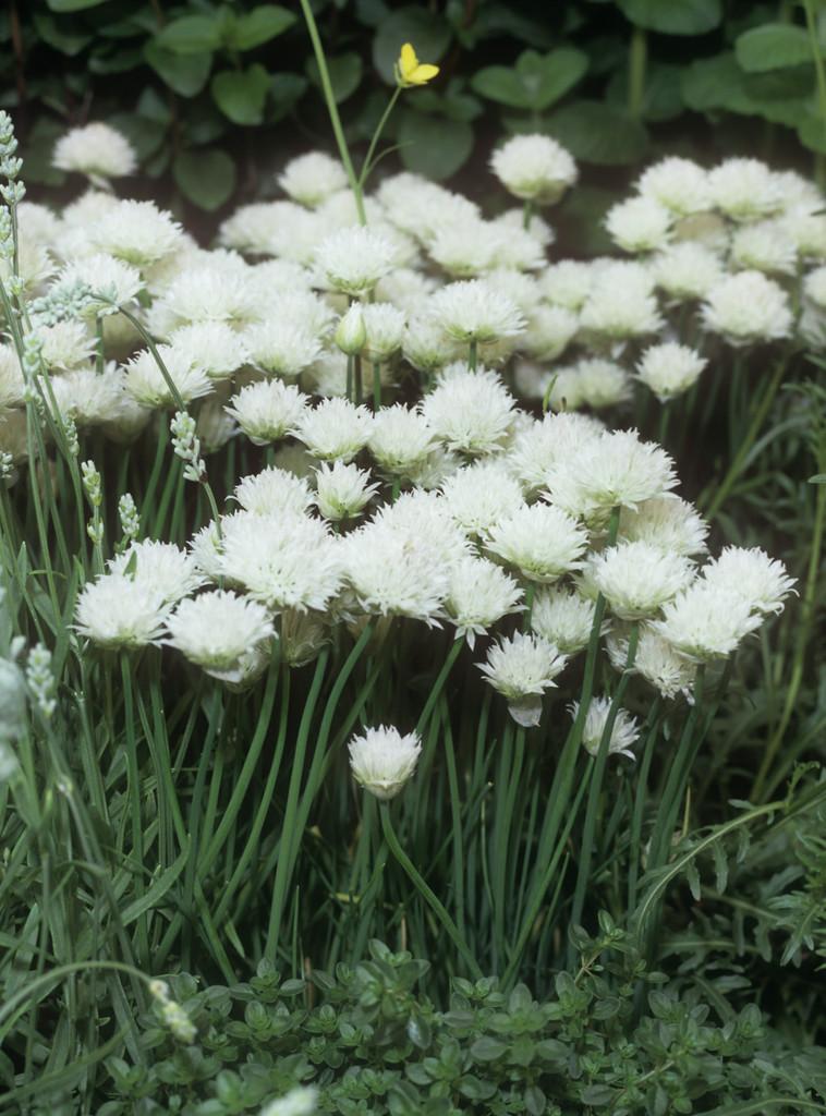 white-flowered chives