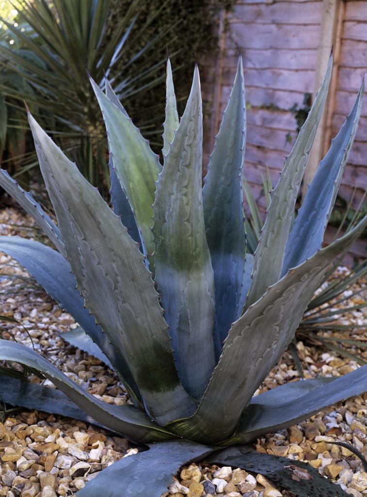 ferocious giant agave