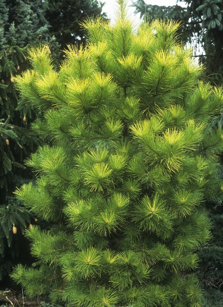 Monterey pine 'Aurea'