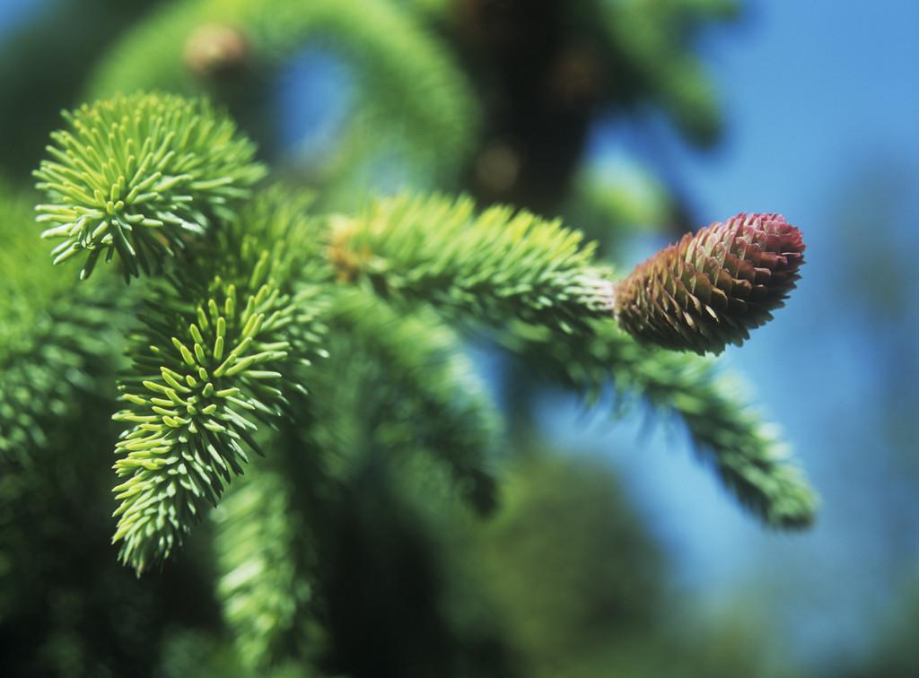 Norway spruce 'Acrocona'
