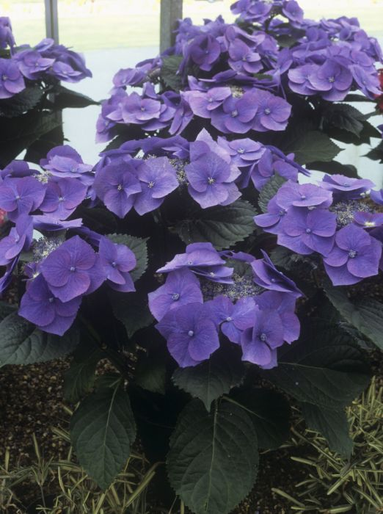 Hydrangea Macrophylla Blaumeise Teller Series L