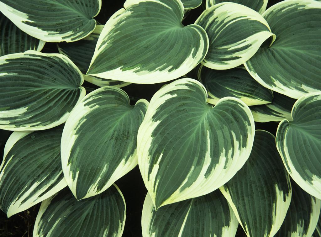 plantain lily 'El Niño'