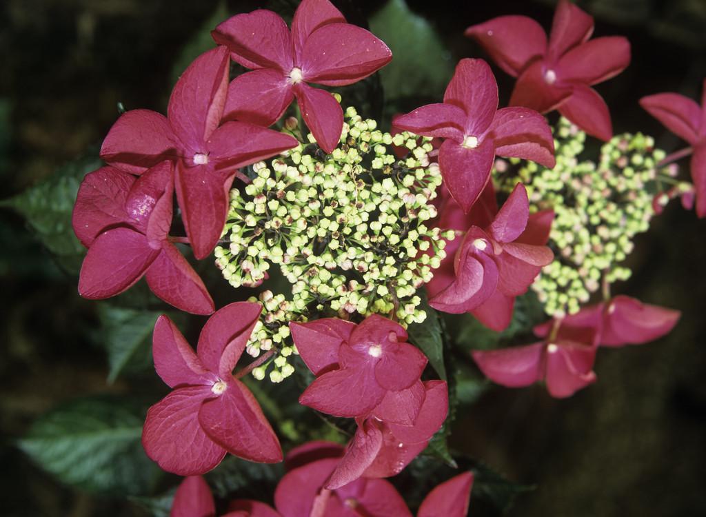 hydrangea 'Rotschwanz'
