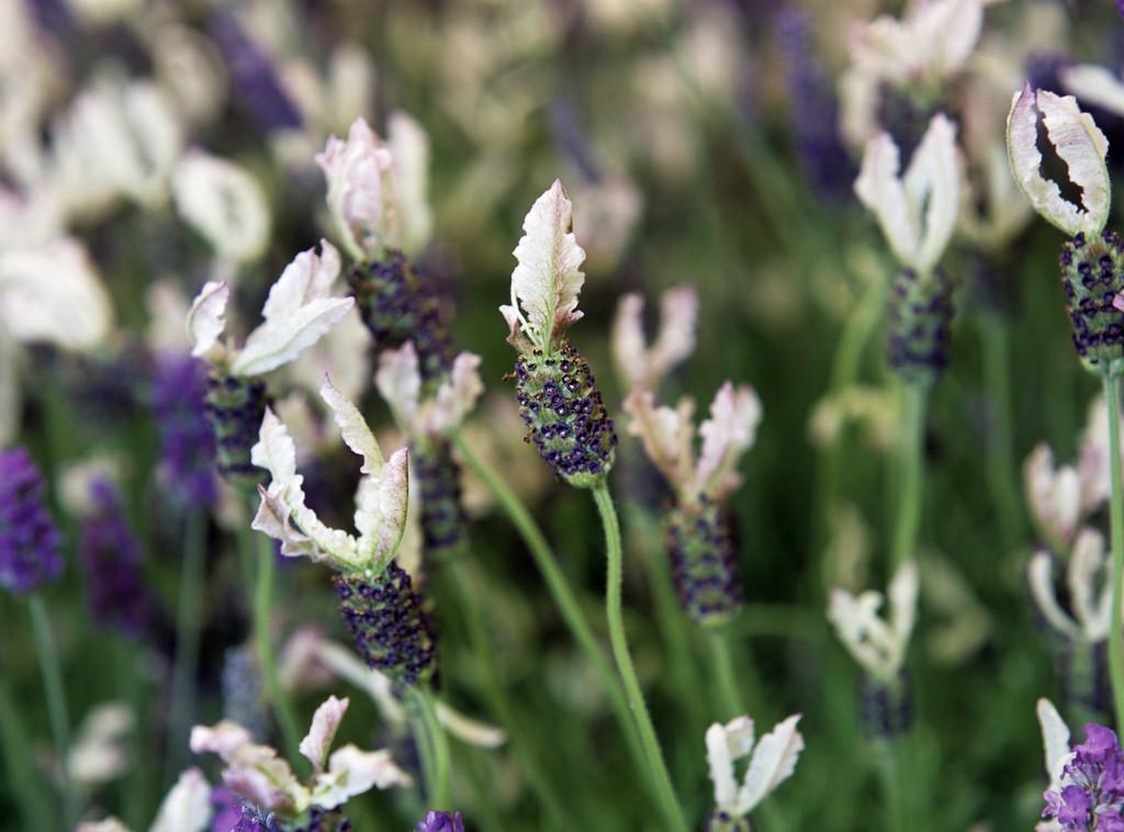 lavender 'Ballerina'