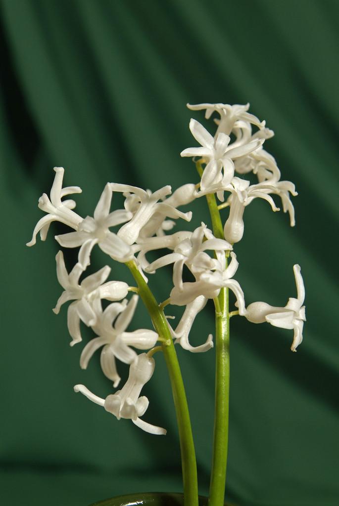 hyacinth 'White Festival'