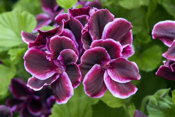 <i>Pelargonium</i> 'Blackcurrant Yhu' (Dec)