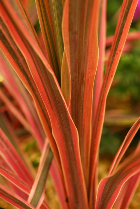 cabbage palm 'Southern Splendour'