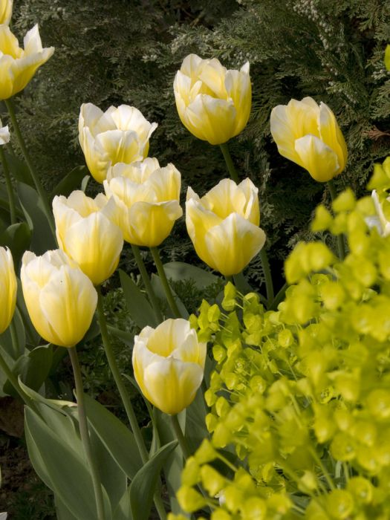 tulip 'Sweetheart'