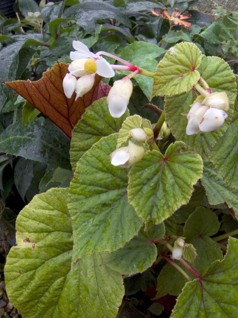 white hardy begonia
