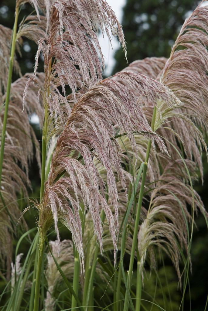 pampas grass 'Rendatleri'