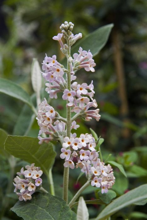 pale butterfly bush