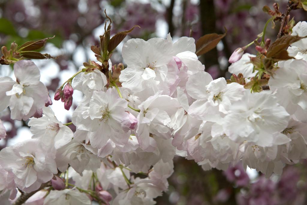 cherry 'Matsumae-fuki'