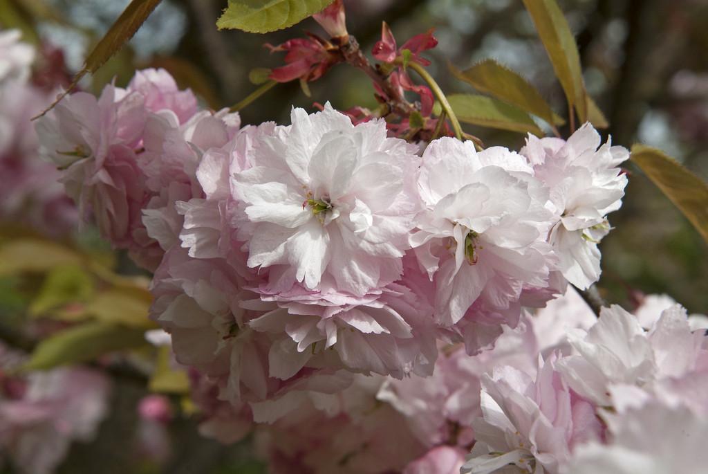 cherry 'Hanagasa'