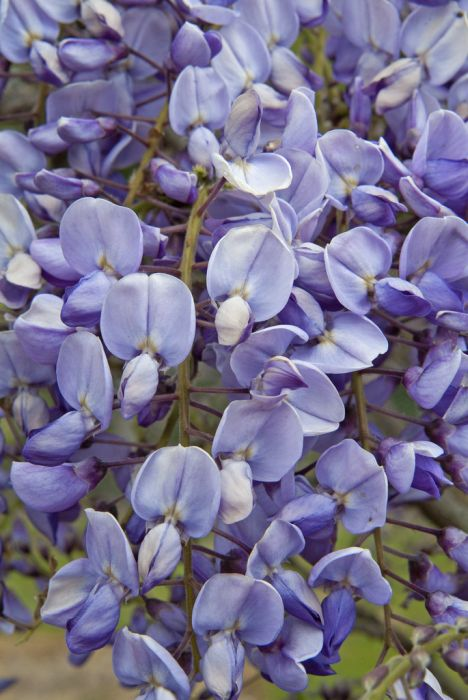Chinese wisteria 'Amethyst'