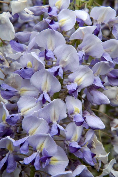 Japanese wisteria 'Lawrence'