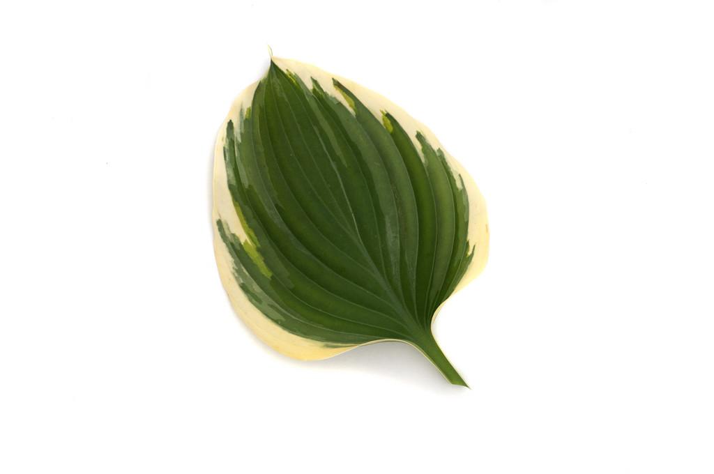 plantain lily 'Liberty'