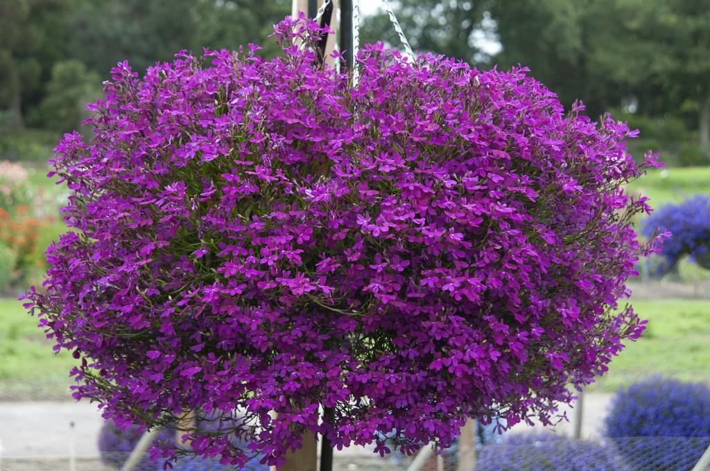 trailing lobelia [Purple Star]