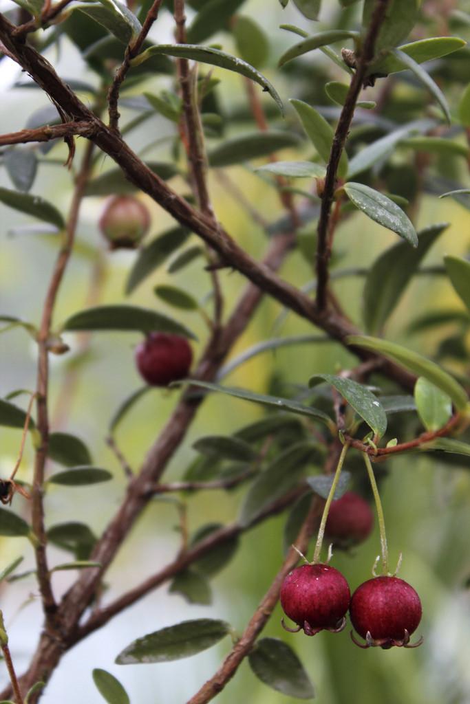 Ugni molinae | Chilean guava/RHS Gardening