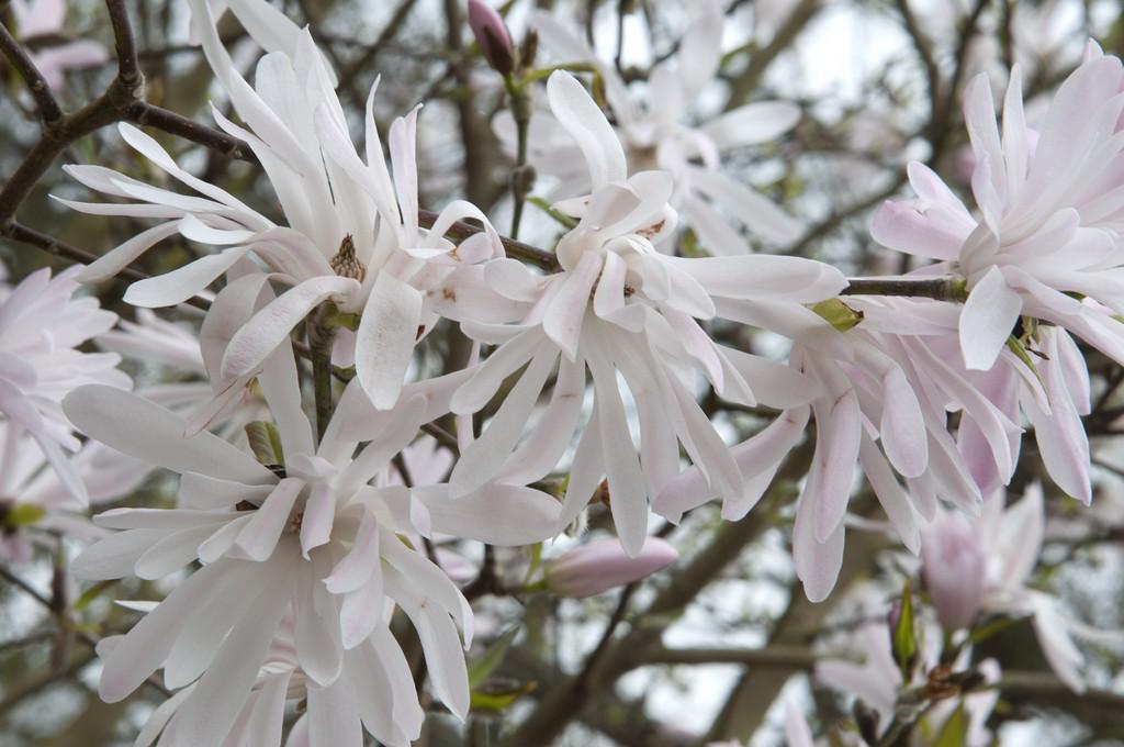 star magnolia 'Jane Platt'