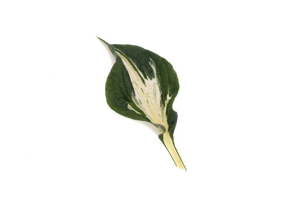 plantain lily 'Revolution'