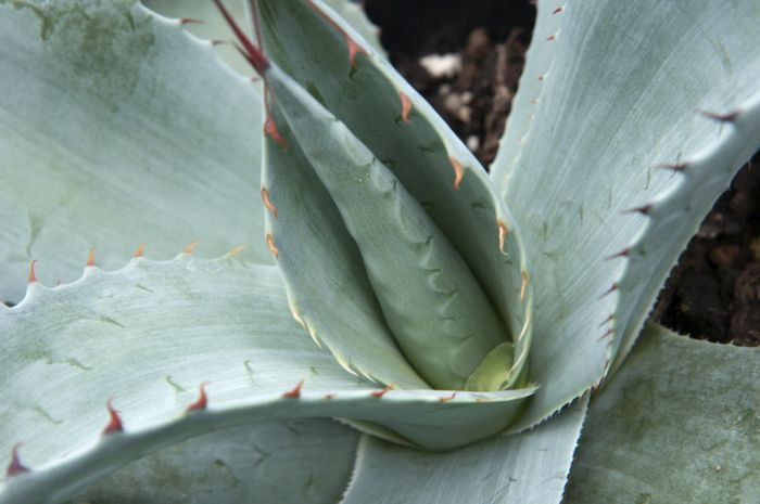oval-leaved agave
