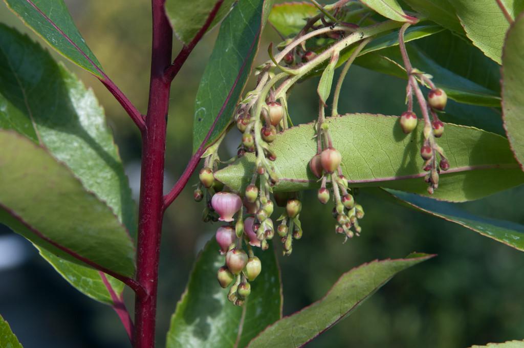 hybrid strawberry tree 'Marina'