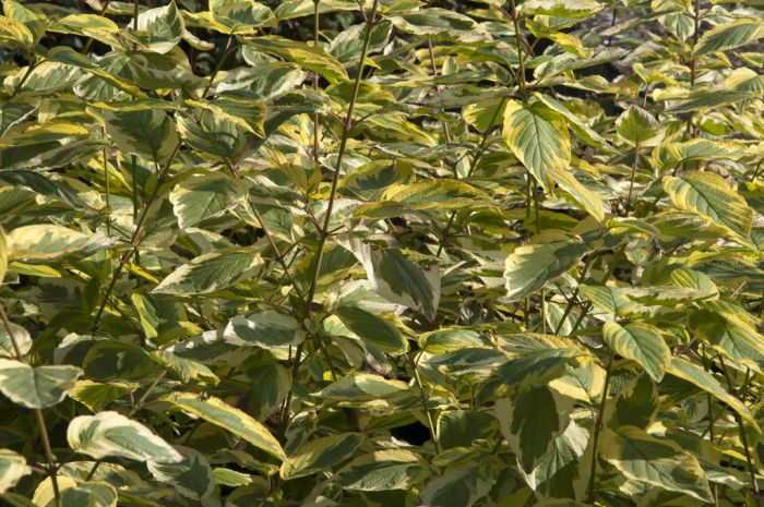 red osier dogwood 'Hedgerows Gold'