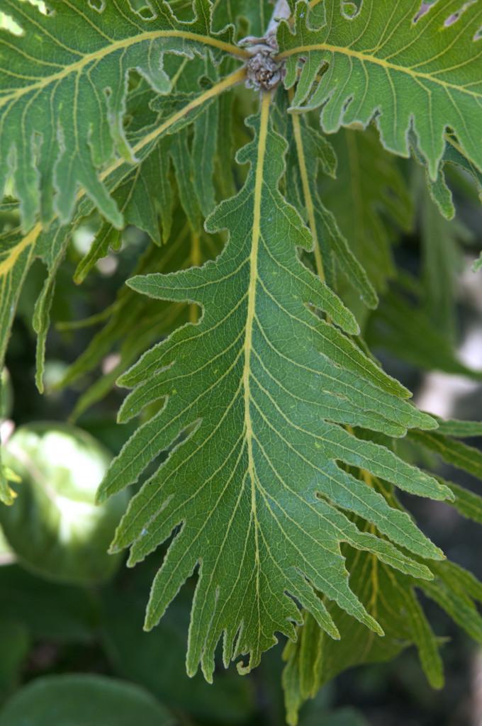 daimio oak 'Pinnatifida'