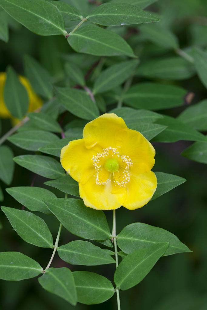 <i>Hypericum lancasteri</i>