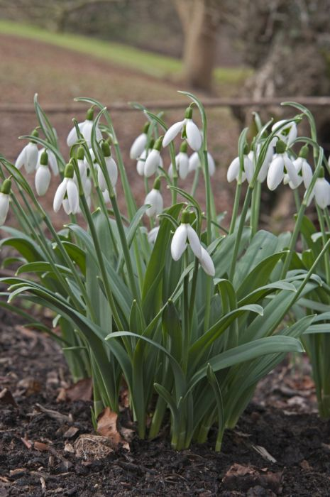 greater snowdrop 'Cedric's Prolific'