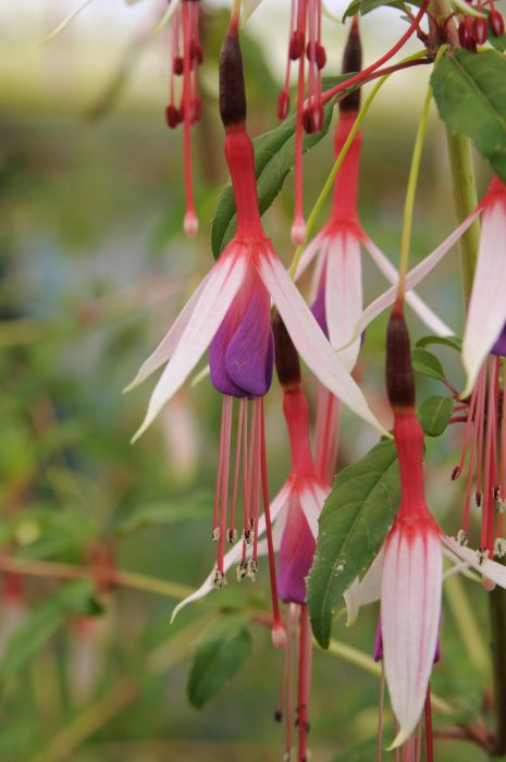 fuchsia 'Lady Bacon'