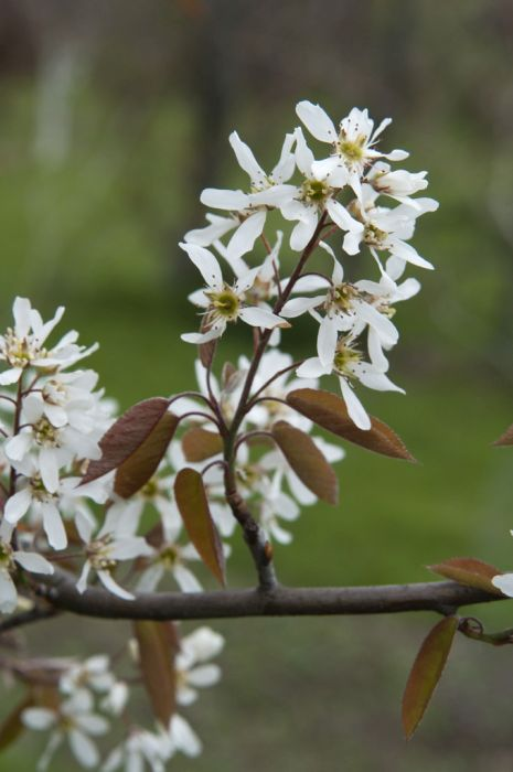 serviceberry 'Cole's Select'