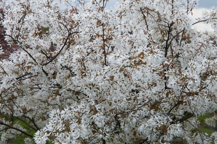 serviceberry 'Princess Diana'