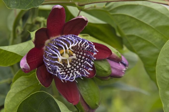 winged-stem passion flower