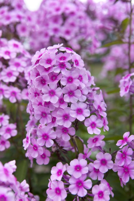 perennial phlox 'Miss Pepper'