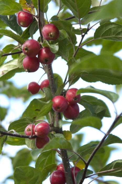 Malus Gorgeous Crab Apple Gorgeous Rhs Gardening