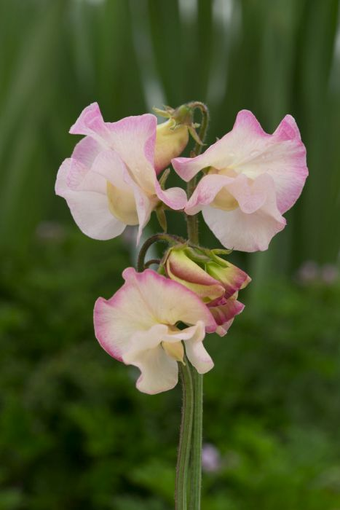<i>Lathyrus odoratus</i> 'Mollie Rilstone'