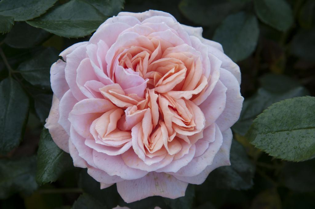 rose [Joie de Vivre]