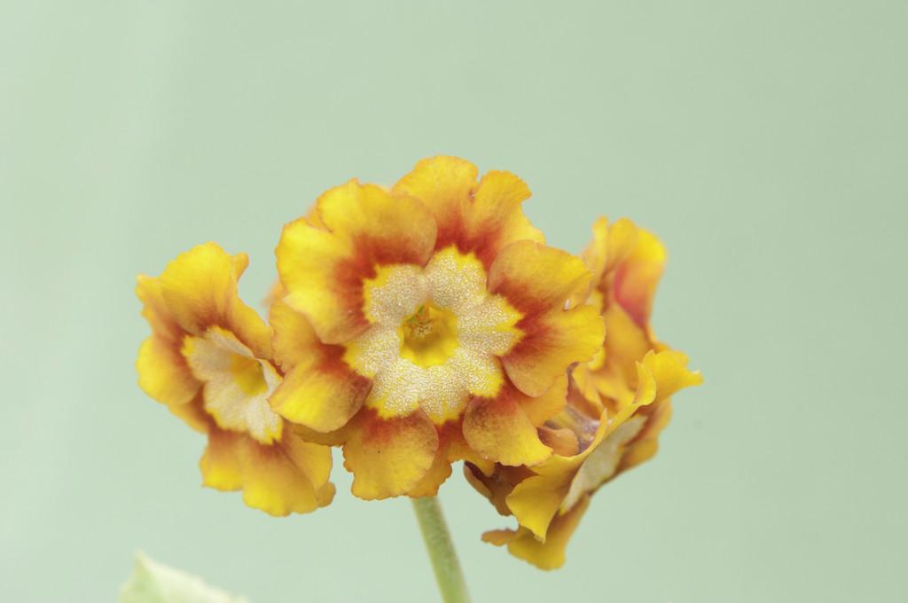auricula 'Eden Goldfinch'