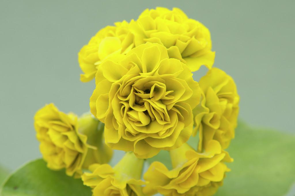 auricula 'Citron-Ella'